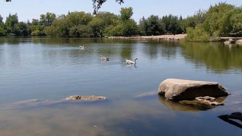 Waterfowls Swimming on a Lake