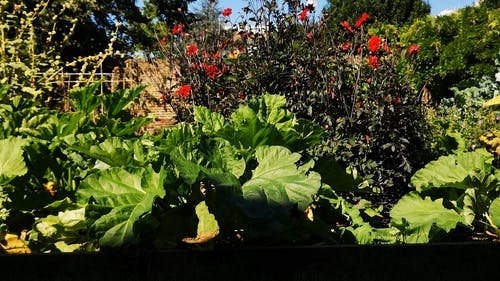 Red Flowers at a Home Garden