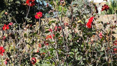 Beautiful Red Flower Bush in a Garden