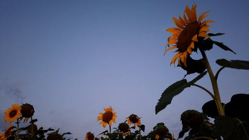 Time-Lapse Video of Sunflowers Under Blue Sky