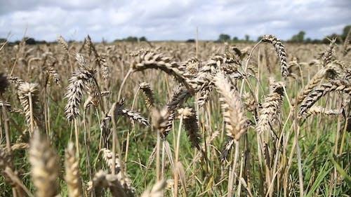 Close Up Video of Crop Fields