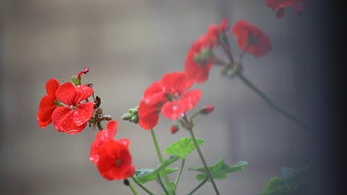 Raindrops on Beautiful Red Flowers