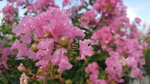 Blooming Pink Flowers Of A Flower Bearing Plant