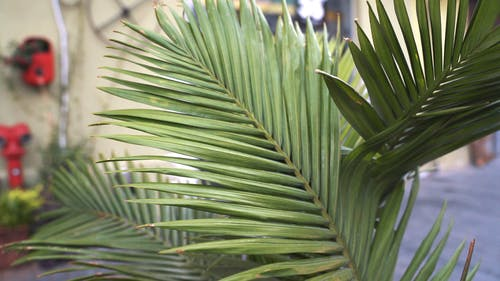 A Golden Cane Palm Plant In The garden