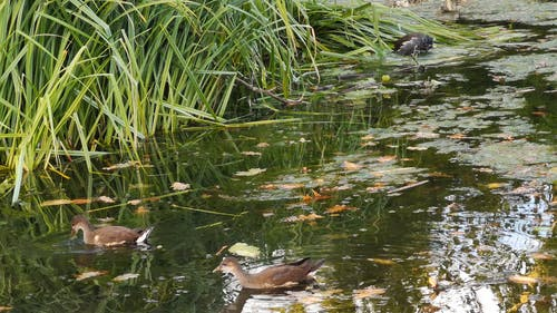 Wild Ducks Paddling In The Park Water Pond