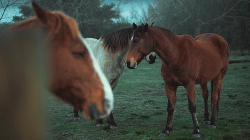 Two Horses Playing With Each Other on Grass Field
