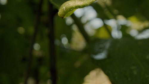 Droplets Of Water Sliding From A Leaf