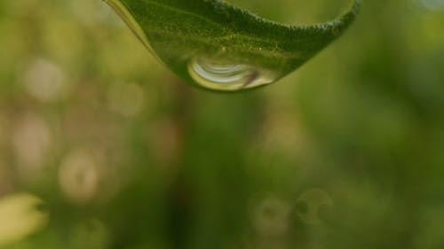 Focused Shot Of A Dewdrop From A Leaf
