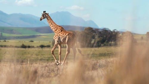 A Giraffe Walking In The Wilderness