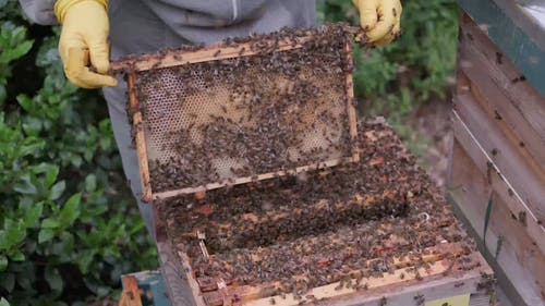 A Beekeeper Taking Care of Bees