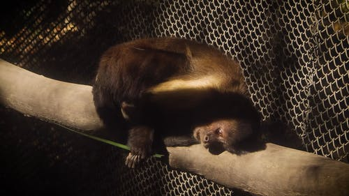Monkey Lying on a Branch and Eating Leaf