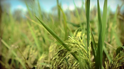 The Growing Grains Of A Rice Plant