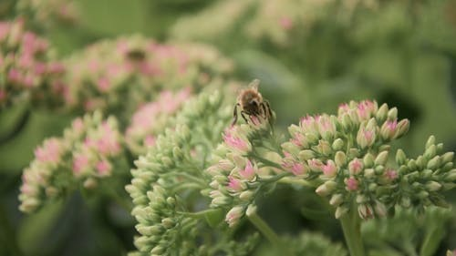 Honeybee on a Bunch of Flowers