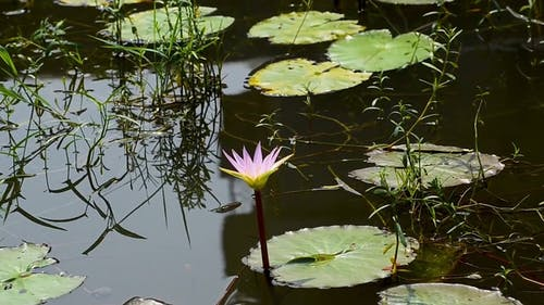 Beautiful Blooming Water Lily