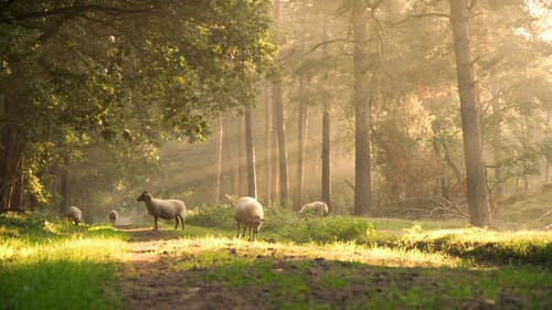 Flock of Sheep Grazing in the Woods