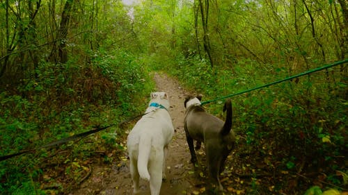 Two Dogs Walking in a Forest