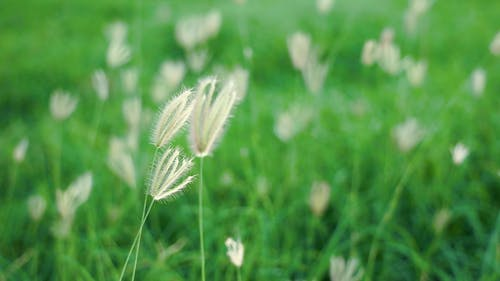 Close Up View of a Swaying Grass Flowers
