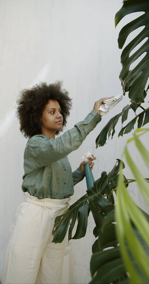 Woman Cleaning Monstera Palm Leaves