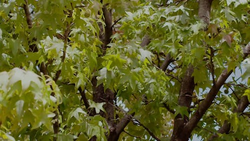 Swaying Leaves of a Tree