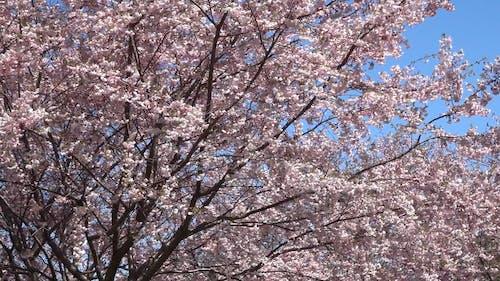 Close Up Video of Cherry Blossom Tree