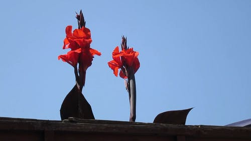 Two Beautiful Red Flowers