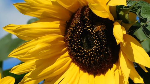A Bee Flies Around the Sunflower