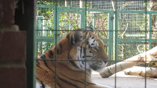 A Tiger Inside a Cage