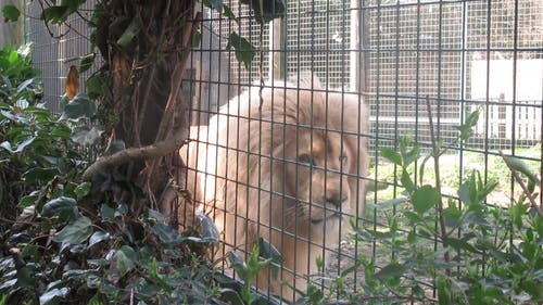 A Lion Walking Inside His Cage