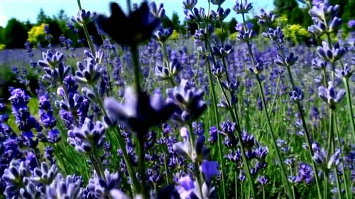 Close-Up View of Blooming Lavender