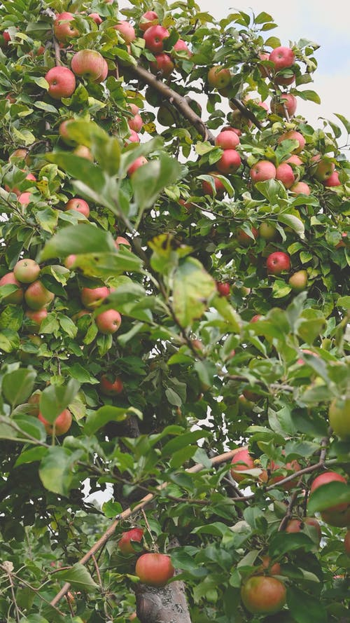 一棵蘋果樹上滿是水果