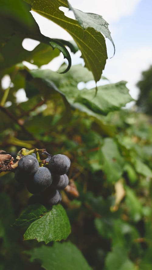 Close-up Footage Of Grapes Growing In The Vineyard