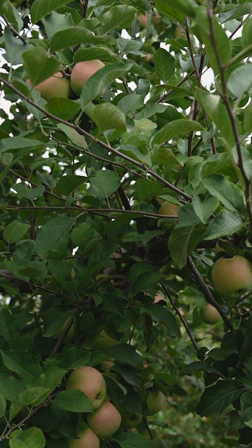 從樹上摘蘋果