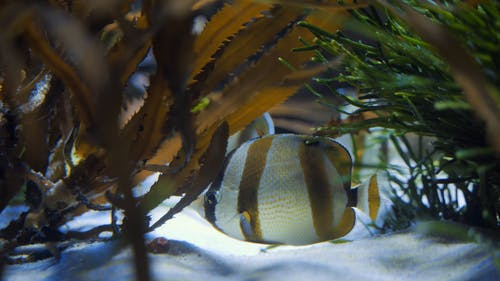 Butterfly Fish Hiding Under Sea Plants