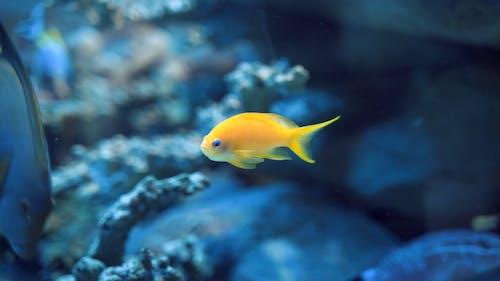 Yellow Scissor Tail Assessor Fish in Aquarium