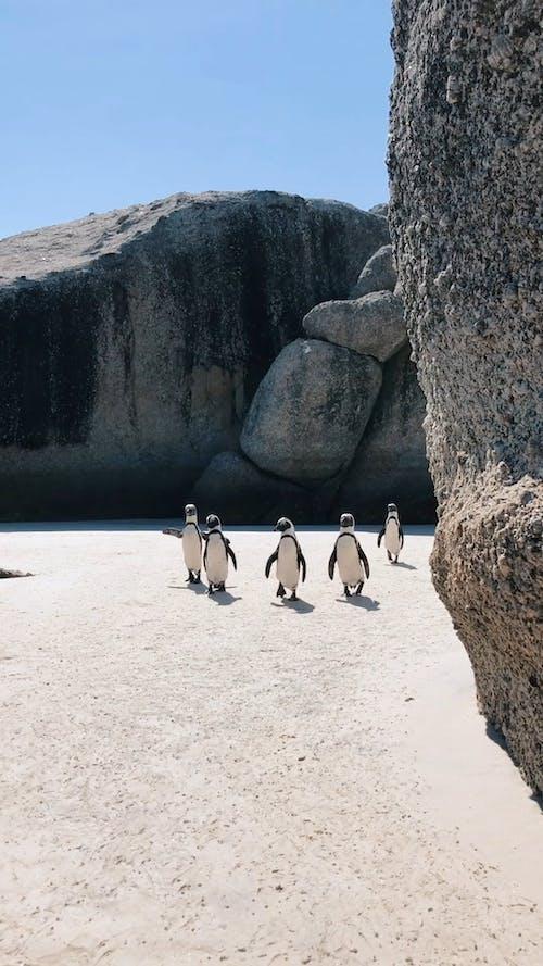 Video of Penguins Walking