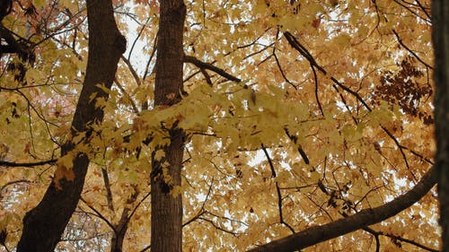 Beautiful View of Yellow Maple Leaves on Trees