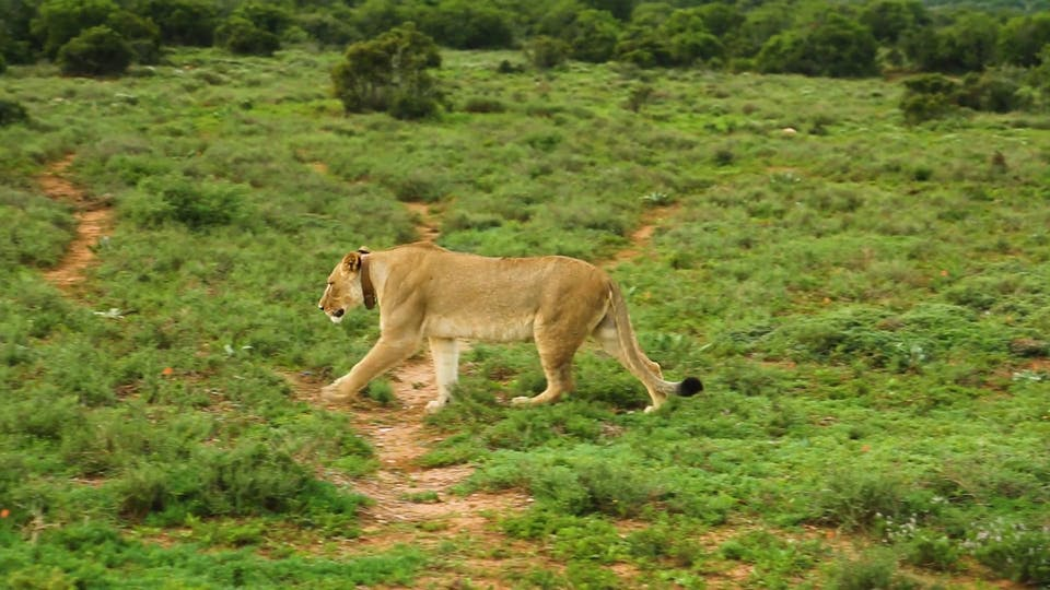 A Lion And Lioness In The Fields