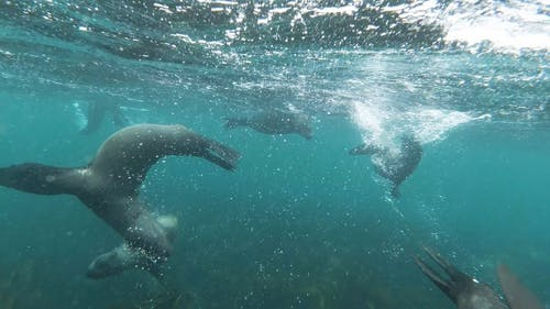 Group of Sea Lions Swimming Underwater