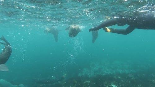 A Scuba Diver Taking Videos of Sea Lions in Sea