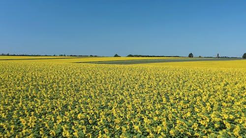 Drone Footage of Sunflower Field Under Blue Sky