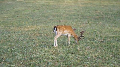 A Fallow Deer In The Grassland