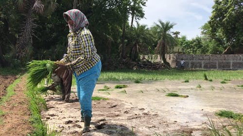 Farmers Planting Rice Crops in Paddy Field