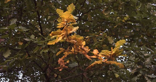 Swaying Autumn Leaves
