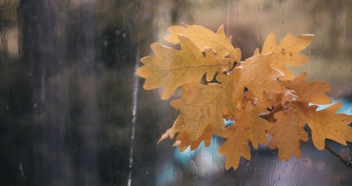 Close-Up View of Wet Autumn Leaves While Raining