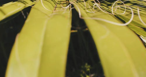 Close-up Footage Of Coconut Leaves