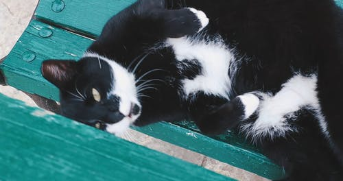 A Black and White Cat Yawning While Lying Down
