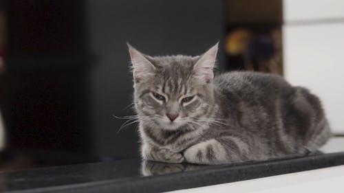 Push-In Shot of a Cute Gray Tabby Cat