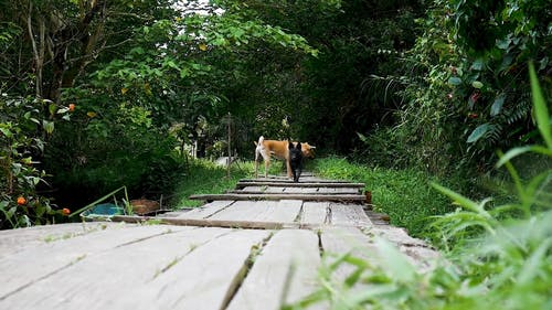 Dog Crossing a Wooden Bridge