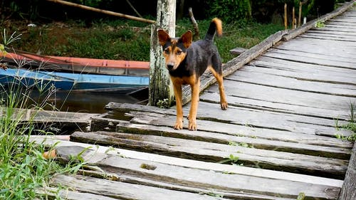 Black and Brown Dog on a Wooden Bridge
