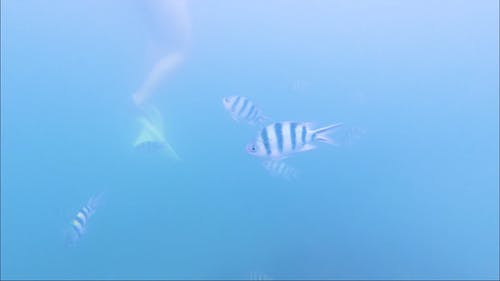 School of Scissortail Sergeant Fishes Swimming Under the Ocean